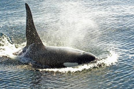 Bull_orca_victoria